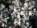 Lampranthus deltoides 2c.JPG