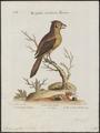 Lanius cristatus - 1700-1880 - Print - Iconographia Zoologica - Special Collections University of Amsterdam - UBA01 IZ16600421.tif