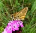 Large Skipper. Ochlodes sylvanus - Flickr - gailhampshire (4).jpg