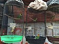 Large fig parrot and lovebirds in Jatinegara Market.jpg