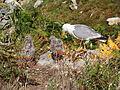 Larus michahellis.050 - Islas Cies.JPG