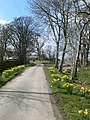 Late daffodils line the lane to Plas Iolyn - geograph.org.uk - 768545.jpg