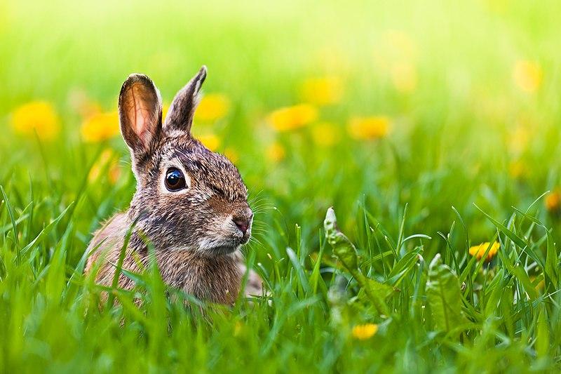 ארנבות אמורות  לחיות בטבע, לא במעבדות