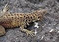 Lava Lizard male Espanola.jpg