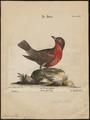 Leïstes militaris - 1700-1880 - Print - Iconographia Zoologica - Special Collections University of Amsterdam - UBA01 IZ15800263.tif