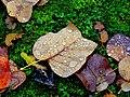 Leaf^drops - Flickr - Stiller Beobachter.jpg