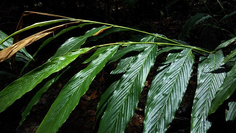 File:Leaves of Cardamom.jpg