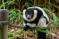 Lemur (36475828444).jpg