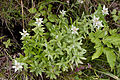 Leontopodium japonicum 03.jpg