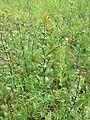 Lepidium perfoliatum sl15.jpg