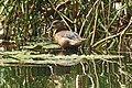 Lesser Whistling Duck (46010380961).jpg
