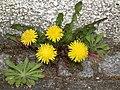 Leuchtende Blüten Löwenzahn 2011.JPG