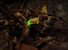Firefly Wikipedia