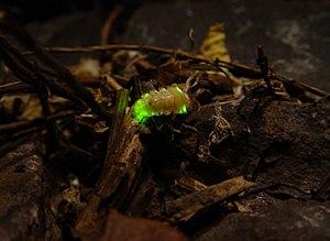 Firefly - Firefly larva