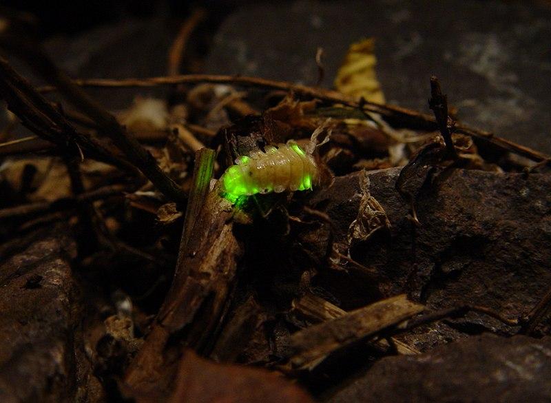 Firefly larvae - Lampyridae