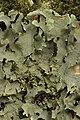 Lichen (28248944338).jpg