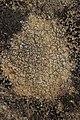 Lichen (42113550495).jpg