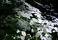 Light on Leaves, Muir Forest.JPG