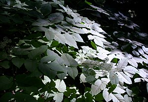 Shade (shadow) - Some leaves are in the shade because light is blocked by trees.