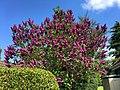 Lilac (41320848490).jpg