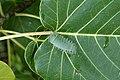 Limacodidae (caterpillar)1540.jpg
