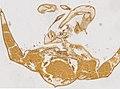 Limulus polyphemus (YPM IZ 098240) 003.jpeg