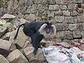 Lion-tailed Macaque (Macaca silenus) feeding on garbage.jpg