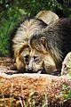 Lion males 3.jpg
