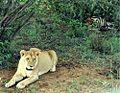 Liones with kill in kenya.jpg