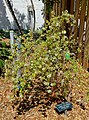 Lippia graveolens - Marie Selby Botanical Gardens - Sarasota, Florida - DSC01654.jpg