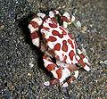 Lissocarcinus orbicularis - Harlequin Crab.jpg