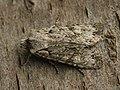 Lithophane ornitopus - Grey shoulder-knot - Коровая совка светло-серая (41130121241).jpg