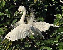 Little Egret during breeding season.jpg