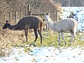 Llamas in North West Leicestershire - geograph.org.uk - 1156106.jpg
