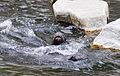 Lobo marino sudamericano (Otaria flavescens), Tierpark Hellabrunn, Múnich, Alemania, 2012-06-17, DD 02.JPG