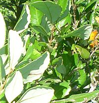 Lomatia dentata-hojas-envés