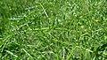 Lomatium dissectum var. dissectum leaves.jpg