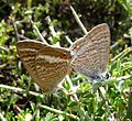 Long-tailed Blue. Lampides boeticus. Mating Pair - Flickr - gailhampshire.jpg