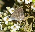 Long-tailed Blue. Lampides boeticus (33391813762).jpg