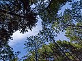 Looking up at tree canopies in Gullmarsskogen ravine.jpg