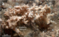 Lophelia pertusa, from Coral Patch Seamount.png