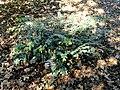 Loropetalum chinense - J. C. Raulston Arboretum - DSC06126.JPG