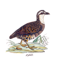 Lossy-page1-2929px-Perdix personata - 1820-1863 - Print - Iconographia Zoologica - Special Collections University of Amsterdam - UBA01 IZ17100109.png