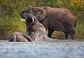 Loxodonta africana 3 (Martin Mecnarowski).jpg