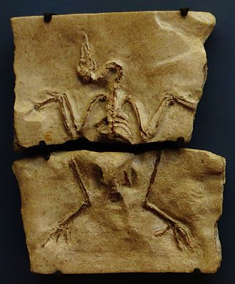 Ludiortyx - Skeleton