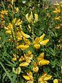 Lupinus croceus.jpg