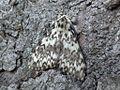 Lymantria monacha 01.JPG