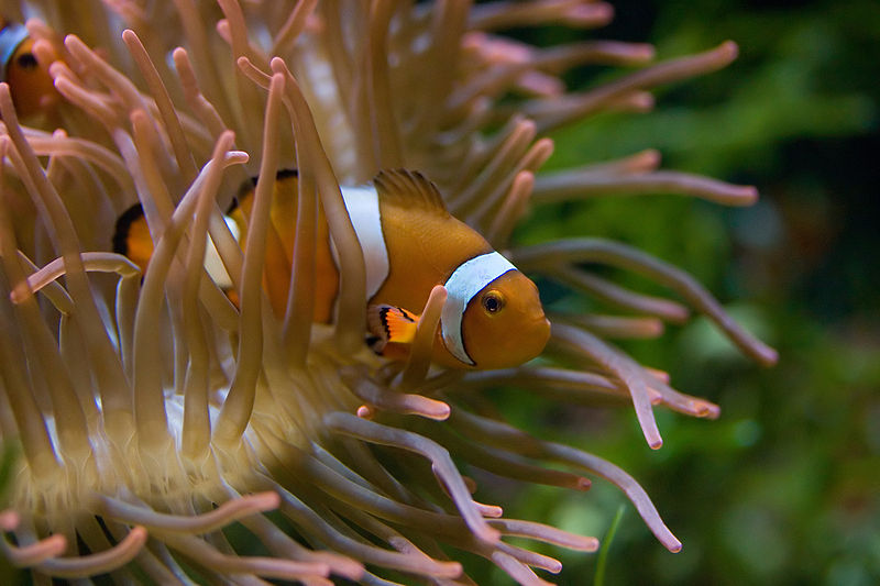 File:MC Clownfish.jpg
