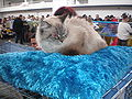 MTP Cat Show 2230086.JPG