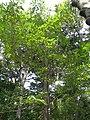 Machilus japonica4.jpg